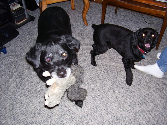 "Bucky & ""Maddie Girl"" fighting over toy."