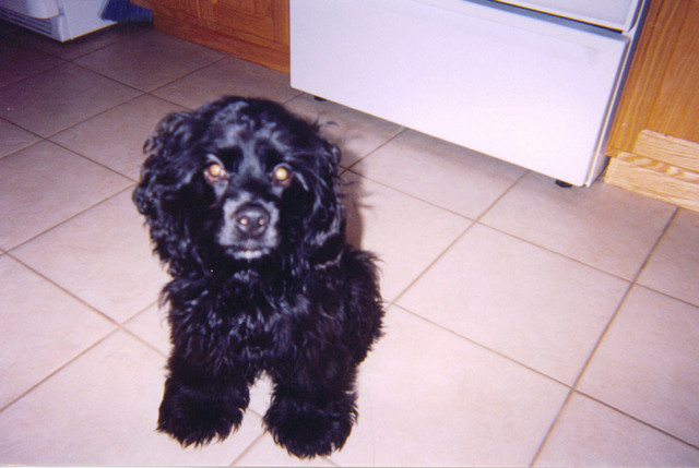 Bucky at his first house before Brian & Kelly rescued him from H.A.R.T. in Brainerd. He's no longer neglected, as you will see on his webpage here. He enjoys walks, chasing Kirby around the house, playing catch, and chasing bunnies and chipmunks.